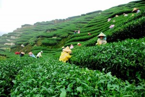 Beautiful Tea Plantation in Srimangal, Sylhet